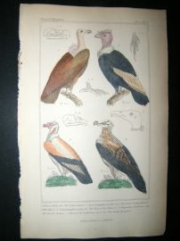 Cuvier C1835 Antique Hand Col Bird Print. Indian Vulture, Great Vulture, Turkey Buzzard, 1